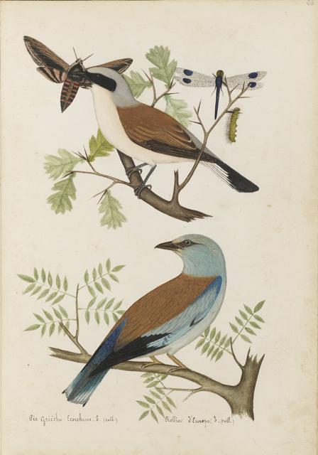 LEMETTEIL. Les Oiseaux de la Seine inférieure UN MAGNIFIQUE RECUEIL DE DESSINS ORIGINAUX